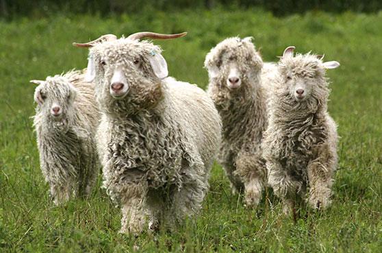 Chèvres du Cachemire