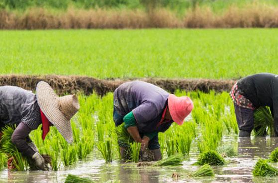 Culture de riz dans la province de Jiangxi